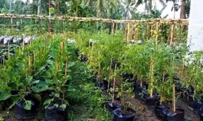 Pekarangan rumah yang berhasil ditanami sejumlah sayuran